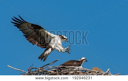A Male Osprey Coming in for a Copulation Landing
