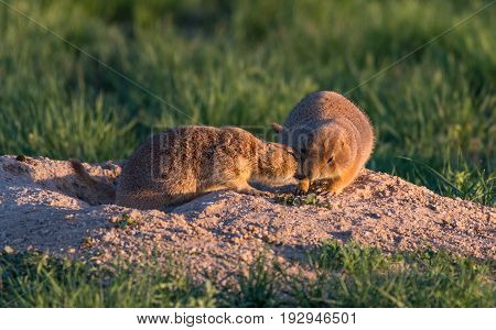 Morning Affection Among Two Black-tailed Prairie Dogs
