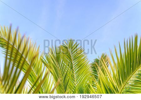 Palm trees at California beach at sky background. View of coconut branches palms. Summer traveling vacation and tropical concept with green and blue color tones. Creative composition with copy space.