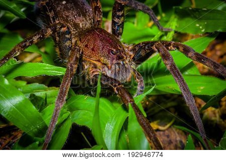 A large spider walking on the ground inside of the forest in Cuyabeno National Park, in Ecuador.