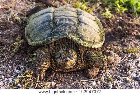 A Snapping Turtle Missing a Front Paw