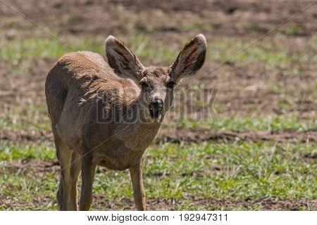 A Very Surprised Mule Deer Doe in the Middle OF Dinner