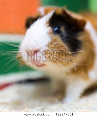 Portrait of guinea pig at the zoo .
