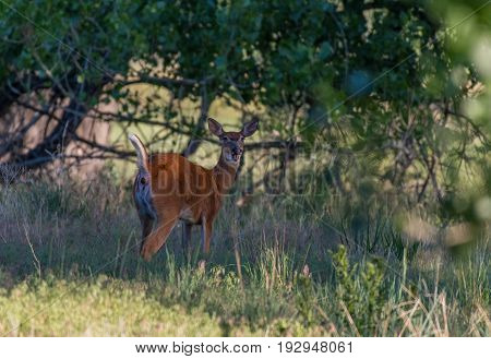A White-tailed Deer Doe deficating in the Woods on a Spring Morning