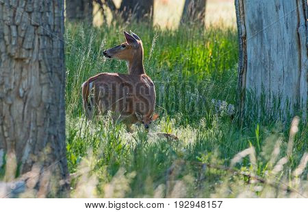 A White-tail Deer Doe and Baby Fawn