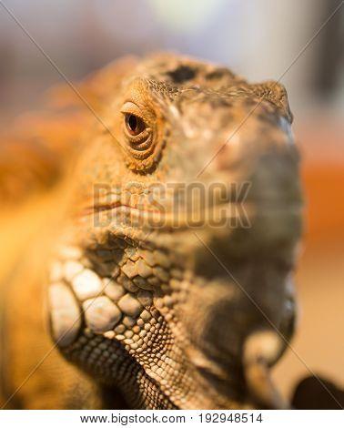 Portrait of an iguana in a zoo .