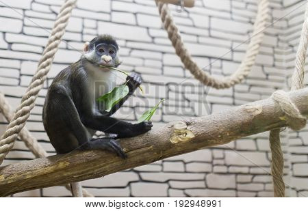 Monkey eats green leaves at the zoo