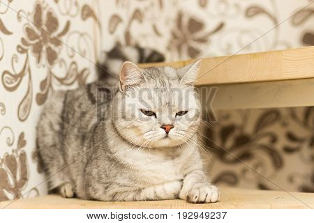 Gray spotted cat with yellow eyes Scottish Straight lies on wooden steps