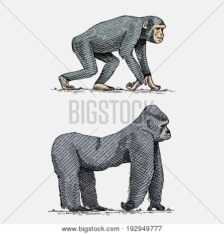 western or mountain gorilla and chimpanzee hand drawn, engraved wild animals in vintage or retro style, zoology african set.