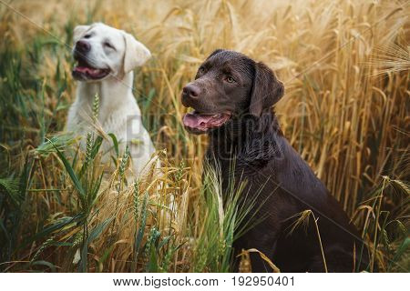 two young cute labrador retriever dog puppies in a yellow field smiling