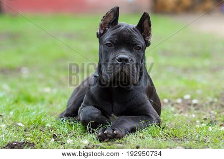Puppy age 3 months of the Cane Corso breed of black color lies on the grass
