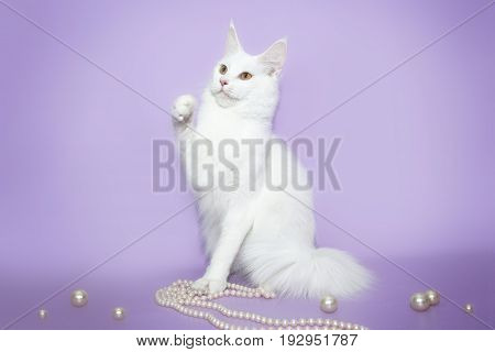 White fluffy cat Maine Coon playing with beads on a pink background