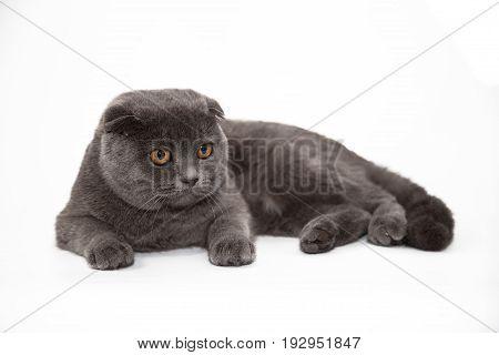 Beautiful Scottish Folded cat on a white background. British Shorthair.