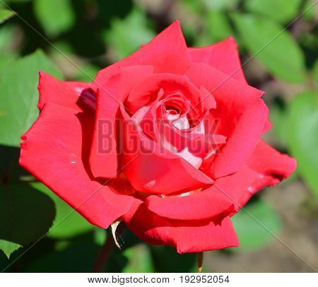 A rose is a woody perennial flowering plant of the genus Rosa, in the family Rosaceae, or the flower it bears. There are over a hundred species and thousands of cultivars.