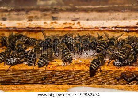 A few bees when feeding with sucrose on the honeycomb frames in the hive