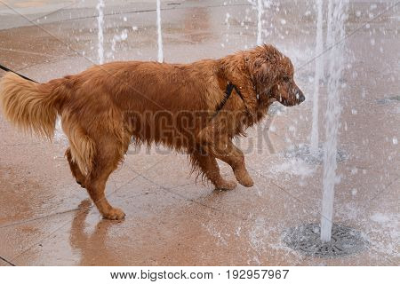Golden retriever playing in fountain on summer day at farmer's market