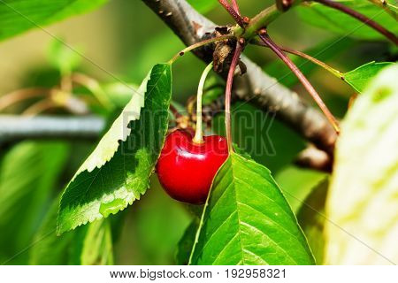 isolated red cherries on tree in cherry orchard. Red yummy cherries on the tree. Close up.