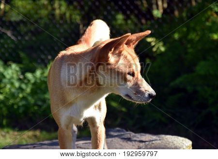 The dingo or Canis Lupus is a free-ranging dog found mainly in Australia. Australian dingo relaxing in the afternoon sun.