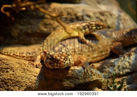 Brown lizards lying on a rock in a terrarium.