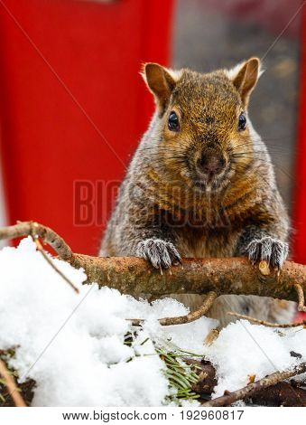 Close up of a Gray squirrel, (Sciurus carlinensis) in front of a red bird feeder