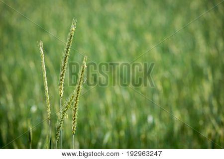 A rye plant growing in a field
