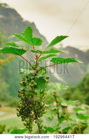 Green Ripening Currant On Shrub In Mountains