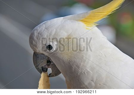 Australian Sulphur-crested Cockatoo (Cacatua galerita) close-up eating a cracker/biscuit standing on a balcony rail. Gosford New South Wales Australia. photograph by Geoff Childs.