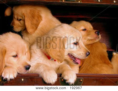 Golden Retriever Pile