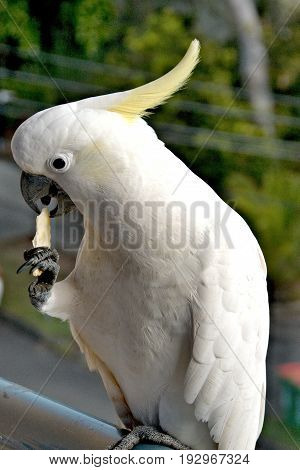 Australian Sulphur-crested Cockatoo (Cacatua galerita) standing on a balcony rail on one claw while holding and eating a biscuit with the other. Gosford New South Wales Australia. photograph by Geoff Childs.
