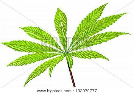 Isolated 12 Tip  Marijuana Leaf 01