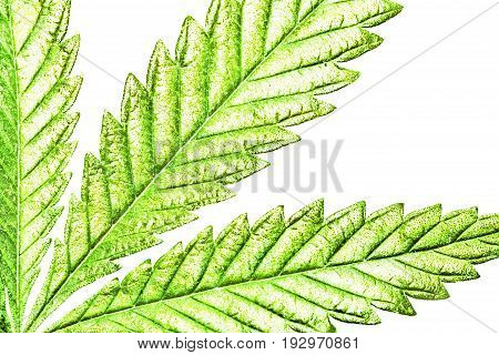 Isolated 5 Tip Marijuana Leaf 02