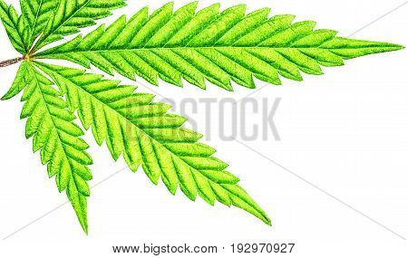 Isolated 5 Tip Marijuana Leaf 04