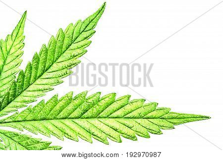 Isolated 5 Tip Marijuana Leaf 03