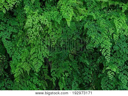 Green nature leaves background of Lush Adiantum capillus-veneris or Southern maidenhair fern or black maidenhair fern or maidenhair fern plant. Oranamental green plant wall background.