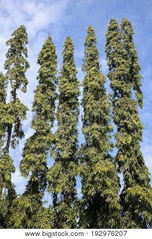 green polyalthia longifolia plants in nature garden