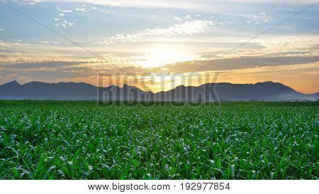 Beautiful nature background of corn field under bluesky and clouds with sunset