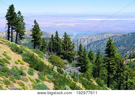 Pine Forest overlooking the Mojave Desert on a mountain ridge taken in the San Gabriel Mountains, CA