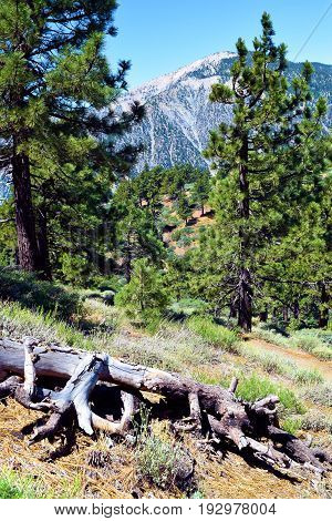 Meadow surrounded by a Pine Forest with Mt Baldy beyond taken in the San Gabriel Mountains, CA