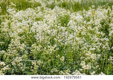 Galium Boreale Flowers