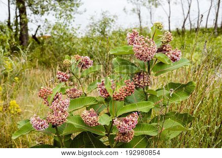 Asclepias Flower And Bees
