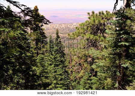 Pine Tree Forest at a mountain ridge with the Mojave Desert beyond taken in the San Gabriel Mountains, CA