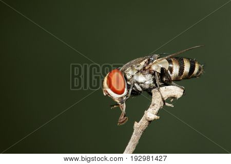 Image of a flies (Diptera) on a branch. Insect Animal