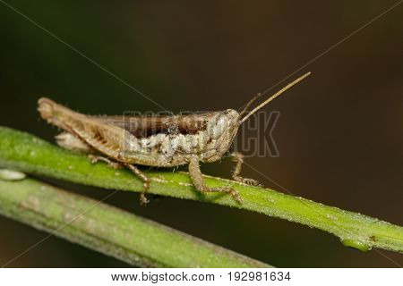 Image of a Brown grasshopper (Hieroglyphus banian) on nature background. Insect Animal