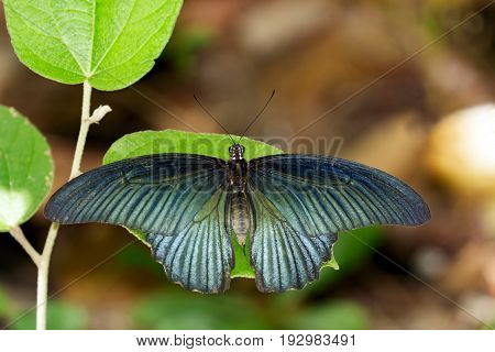 Image of Great Mormon Butterfly(male) on green leaves. Insect Animal. (Papilio memnon agenor Linnaeus1758)