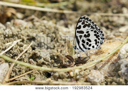 Image of common pierrot butterfly on the ground. Insect Animal (Castalius rosimon rosimon Fabricius 1775)