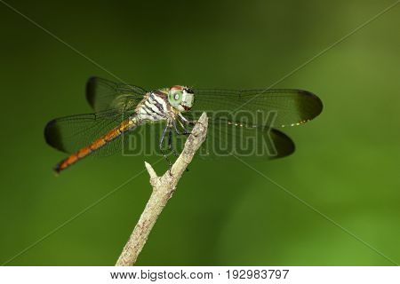 Image of lathrecista asiatica dragonfly(female) on nature background. Insect Animal.