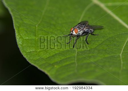 Image of a flies (Diptera) on green leaves. Insect Animal