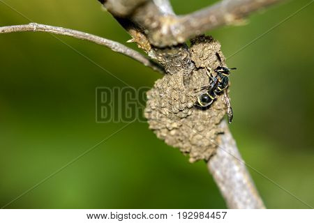 Image of female potter wasp building her nest (Phimenes flavopictus formosanus) on nature background. Insect Animal