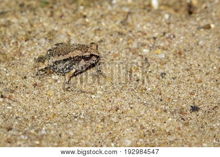 Image of little bullfrog (Kaloula pulchra) on the ground. Animal