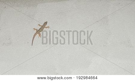 Single lizard sticks on the wall.Isolated on concrete background with clipping path.Copy space